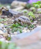 Djurliv för closeup för sköldpaddaTestudoMarginata europeiskt landturtle arkivbilder