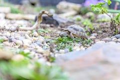 Djurliv för closeup för sköldpaddaTestudoMarginata europeiskt landturtle arkivfoto
