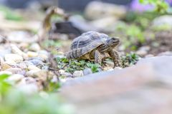 Djurliv för closeup för sköldpaddaTestudoMarginata europeiskt landturtle arkivbild