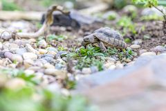 Djurliv för closeup för sköldpaddaTestudoMarginata europeiskt landturtle royaltyfri bild