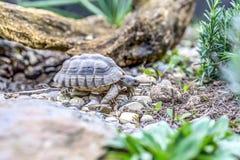 Djurliv för closeup för sköldpaddaTestudoMarginata europeiskt landturtle royaltyfria bilder