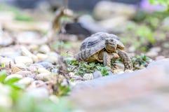 Djurliv för closeup för sköldpaddaTestudoMarginata europeiskt landturtle fotografering för bildbyråer