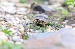 Djurliv för closeup för sköldpaddaTestudoMarginata europeiskt landturtle arkivfoton