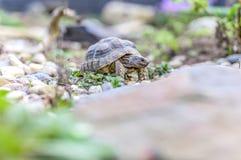 Djurliv för closeup för sköldpaddaTestudoMarginata europeiskt landturtle royaltyfri foto