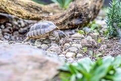Djurliv för closeup för sköldpaddaTestudoMarginata europeiskt landturtle royaltyfria foton