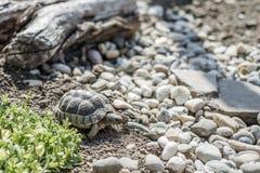 Djurliv för sköldpaddaTestudoMarginata fritt äta för europeiskt landturtle arkivbilder