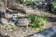 Djurliv för sköldpaddaTestudoMarginata fritt äta för europeiskt landturtle arkivfoto