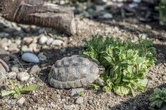 Djurliv för sköldpaddaTestudoMarginata fritt äta för europeiskt landturtle royaltyfri fotografi