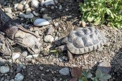 Djurliv för sköldpaddaTestudoMarginata fritt äta för europeiskt landturtle royaltyfri foto