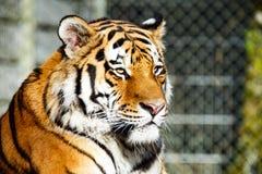 djurliv för uk för tiger för fundamentarvkent stående Royaltyfria Foton
