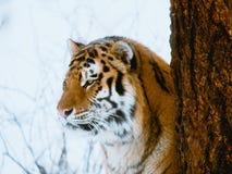 djurliv f?r uk f?r tiger f?r fundamentarvkent st?ende royaltyfria bilder