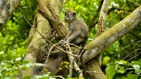 DJURLIV FRÅN MAURITIUS - lös macaqueapa Arkivfoton