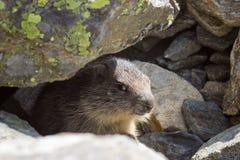 Djurliv groundhoggröngöling av murmeldjuret i Aosta Valley, Italien Royaltyfria Foton