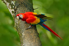Djurliv i Costa Rica Mekaniskt säga efter den scharlakansröda aran, munkhättor Macao, i grön tropisk skog, Costa Rica, djurlivpla arkivbild