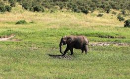 Djurliv i Maasai Mara, Kenya Royaltyfri Foto