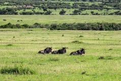 Djurliv i Maasai Mara, Kenya Fotografering för Bildbyråer
