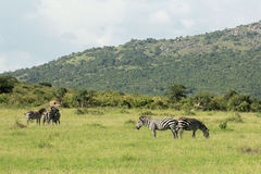 Djurliv i Maasai Mara, Kenya Arkivbilder
