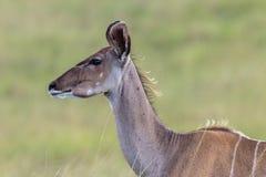 Djurliv Kudu Buck Animal Royaltyfri Foto