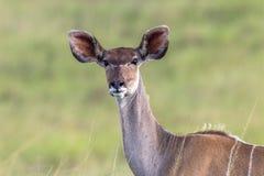 Djurliv Kudu Buck Animal Fotografering för Bildbyråer