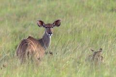 Djurliv Kudu Buck Animal Royaltyfri Fotografi
