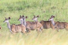 Djurliv Kudu Buck Animal Arkivbilder