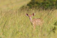 Djurliv Kudu Buck Calf Animal Royaltyfri Fotografi