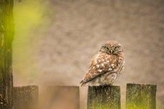 Djurliv - liten uggla på ett staket fotografering för bildbyråer