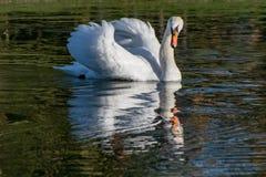 Djurliv och reflexioner i sjövatten royaltyfri bild