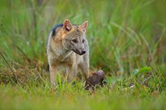 Djurliv Pantanal, Brasilien Grön vegetation, gullig lös räv Hund med kadavret Krabba-äta räven, Cerdocyon thous, skogräv, trä royaltyfri fotografi