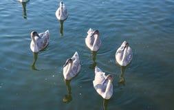 Djurliv: vita svanar arkivfoton