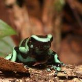 Djurlivfoto av den gröna och svarta Pil-gift grodan fotografering för bildbyråer