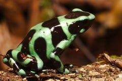 Djurlivfoto av den gröna och svarta Pil-gift grodan royaltyfria bilder