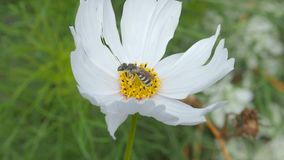 Djurlivkryp på en vit blomma arkivfilmer