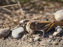 Djurlivkrypgräshoppan hoppar mat Fotografering för Bildbyråer