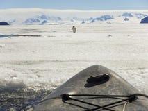 Djurlivmöte i kajaken, Gustaf Sound, Antarktis Royaltyfri Bild
