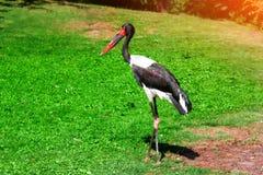Djurlivnatur för svart stork Arkivfoto