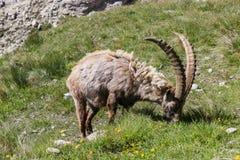 Djurlivplats Alpin stenbock i äng för högt berg royaltyfri foto