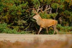 Djurlivplats, natur Heath Moorland höstdjuruppförande Röda hjortar, brunstig säsong, Hoge Veluwe, Nederländerna Hjortfullvuxen ha royaltyfri foto