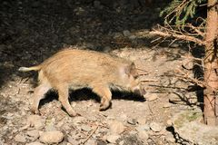 Djurlivvildsvin nära skogen arkivbild