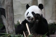 djurt för äta för bambu gulligt zoo för panda jätte- Arkivfoton