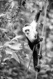 Djurt hänga för primat på kabel i rainforest av Honduras Royaltyfri Bild