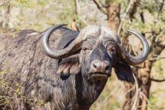 Djurt närbilddjurliv för buffel Arkivfoto