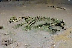 Djurt skelett i grotta royaltyfri foto