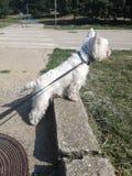Djurt utomhus- foto Uppmärksamhet vid den vita hunden royaltyfri bild