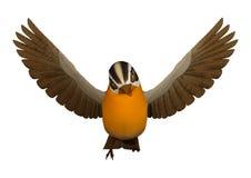 3D Rendering Songbird Grosbeak on White. 3Dl rendering of a flying songbird grosbeak isolated on white background Stock Photos