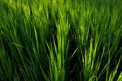 Dla ryż od wierzchołka Obrazy Stock