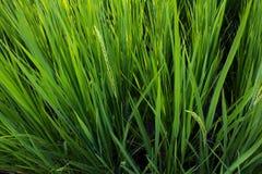 Dla ryż od wierzchołka Zdjęcie Stock