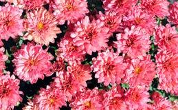 Dla tła Mum kwiat Zdjęcie Royalty Free