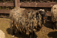 Dlack sheep Royalty Free Stock Photo