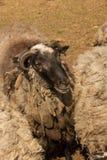 Dlack sheep Stock Images